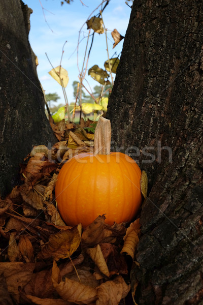 Ripe pumpkin in brown fall leaves against a tree trunk Stock photo © sarahdoow