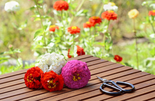 Small bunch of zinnias with scissors on a wooden table Stock photo © sarahdoow