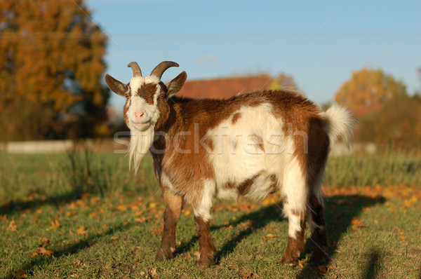 Red and white goat standing in warm sunlight Stock photo © sarahdoow