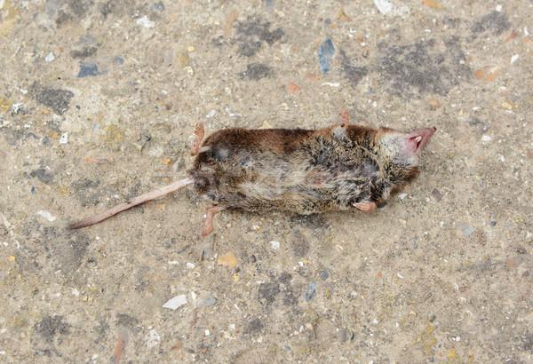 Zdjęcia stock: Martwych · myszą · mały · szkoda · powrót · konkretnych