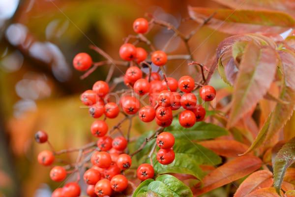 Close-up of red rowan berries Stock photo © sarahdoow