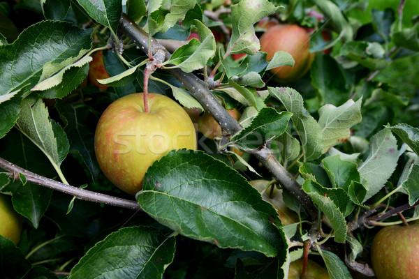 Stock fotó: Finom · zöld · alma · levelek · sötét · zöld · levelek