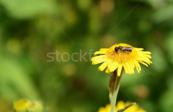Bee taking nectar from a fleabane flower Stock photo © sarahdoow