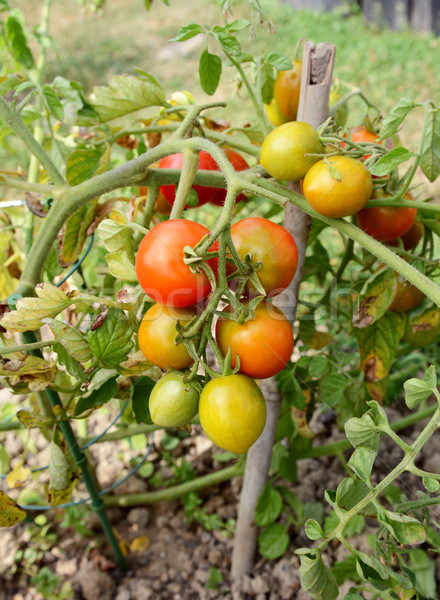 Tomato plant truss with green, yellow and red fruit Stock photo © sarahdoow