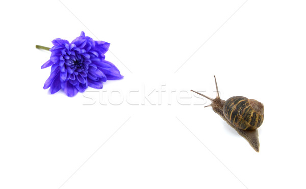 Garden snail heads towards a blue flower in the distance Stock photo © sarahdoow