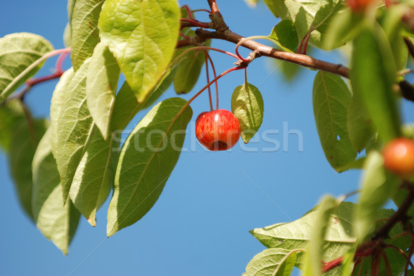 Crab apple hanging against a blue sky Stock photo © sarahdoow