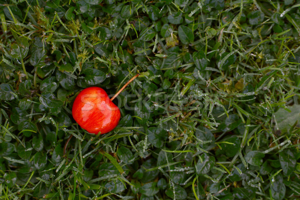 Bright red crab apple on dewy grass Stock photo © sarahdoow