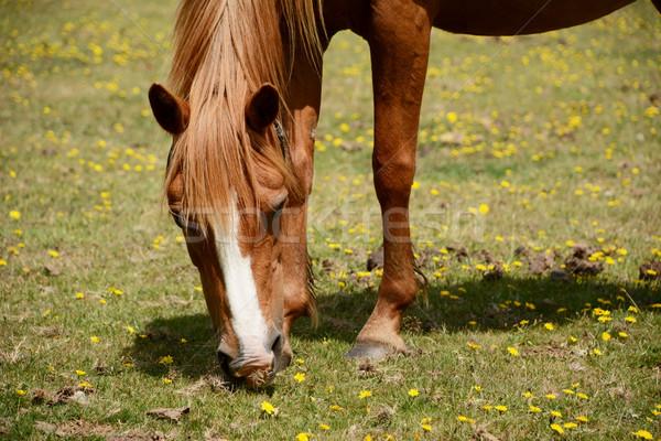 栗 ポニー 新しい 森林 クローズアップ 馬 ストックフォト © sarahdoow