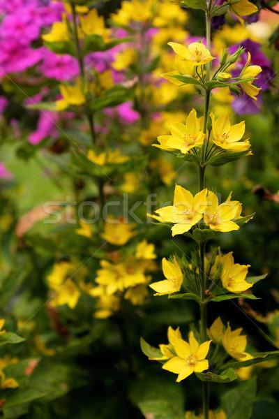 Sprig of yellow loosestrife flowers against bokeh of garden  Stock photo © sarahdoow