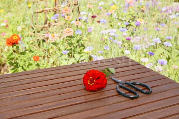 赤 はさみ 花壇 カット 花 ストックフォト © sarahdoow