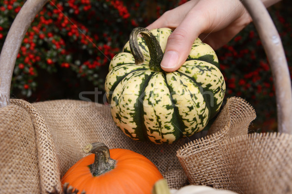 Young woman adds harlequin pumpkin to a basket Stock photo © sarahdoow