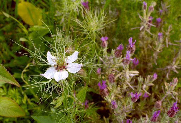 White love-in-a-mist flower with frondy foliage Stock photo © sarahdoow