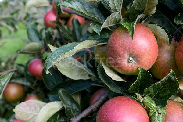Rosy red apples growing among leaves Stock photo © sarahdoow