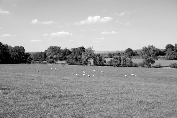 Ovelha fazenda campo inglês Foto stock © sarahdoow