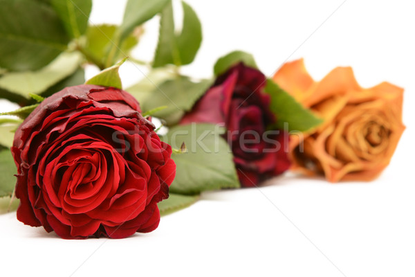 Deep red rose bloom with burgundy and orange roses Stock photo © sarahdoow