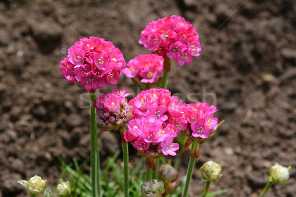 Bright pink armeria flowers Stock photo © sarahdoow