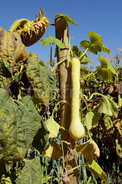 スカッシュ つる 長い 絞首刑 野菜 庭園 ストックフォト © sarahdoow