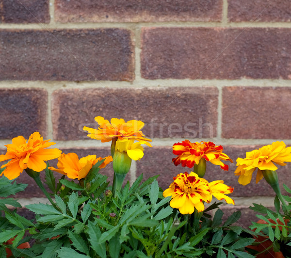 French marigold flowers against a brick wall  Stock photo © sarahdoow