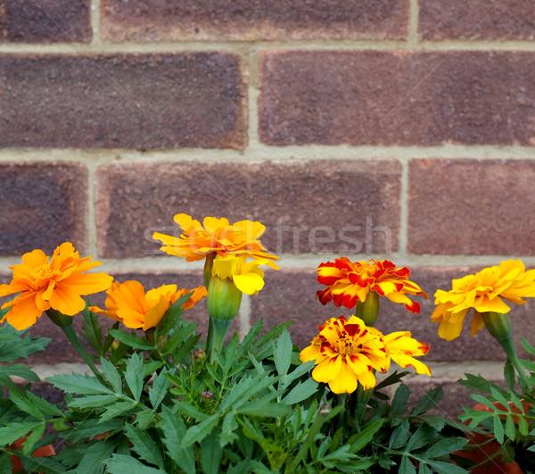 Francuski kwiaty murem rząd jasne pomarańczowy Zdjęcia stock © sarahdoow