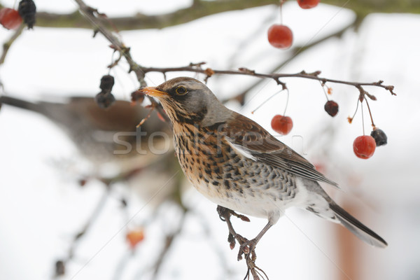 Adult fieldfare on branch of a tree in winter Stock photo © sarahdoow