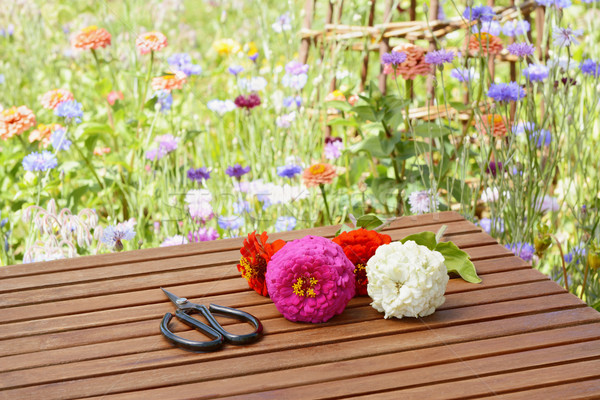 Scissors with cut flowers in a rural flower garden Stock photo © sarahdoow