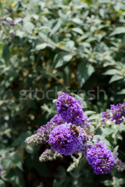 Honeybee on purple buddleia Stock photo © sarahdoow