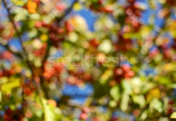 Abstract defocussed tree with red crab apples and green foliage Stock photo © sarahdoow