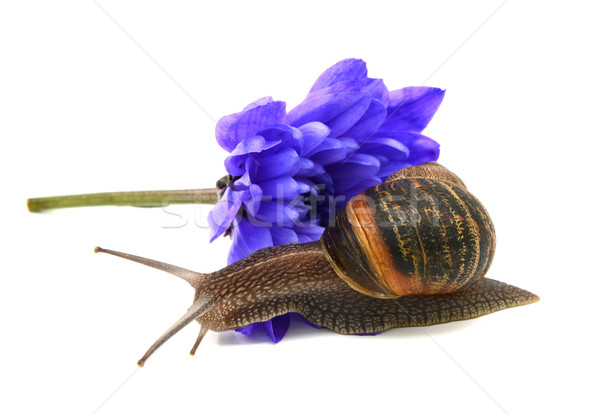 Garden snail slides over the petals of a blue chrysanthemum Stock photo © sarahdoow