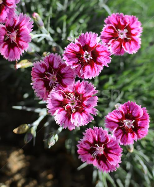 розовый группа полосатый гвоздика цветы макроса Сток-фото © sarahdoow