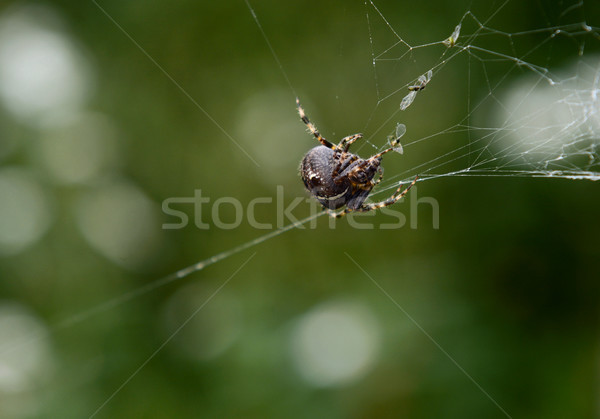 European garden spider on cobweb with trapped flies Stock photo © sarahdoow