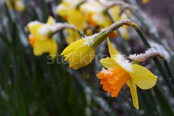 Voorjaar narcissen laat sneeuw opening bloemblaadjes Stockfoto © sarahdoow