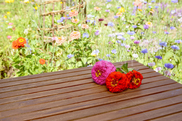 Three zinnia blooms outdoors on a wooden table Stock photo © sarahdoow