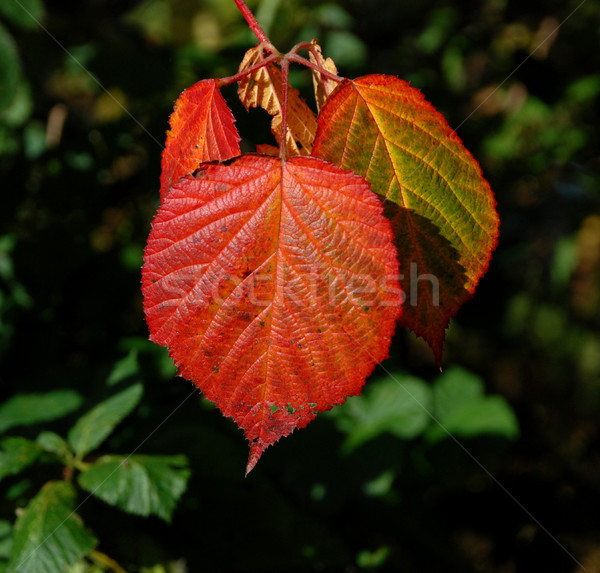 Bright red fall leaf in sunshine Stock photo © sarahdoow