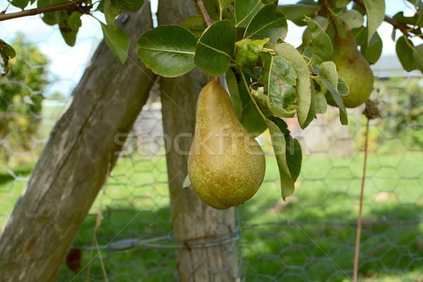 Pereira enforcamento ramo árvore frutífera fruto verde Foto stock © sarahdoow