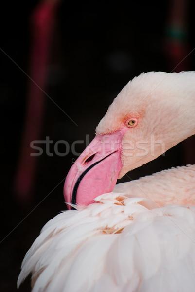 pink flamingos (Phoenicopterus ruber ruber) Stock photo © Sarkao