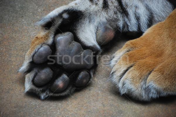 Лапы лапа тигр животного подробность млекопитающее Сток-фото © Sarkao