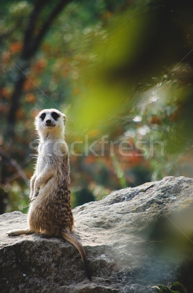 meerkat Stock photo © Sarkao