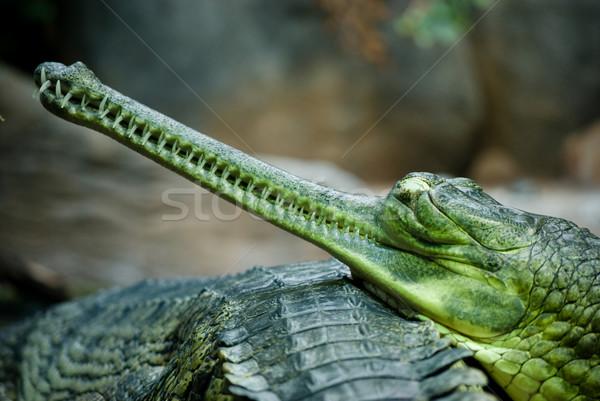 indian gavial Stock photo © Sarkao
