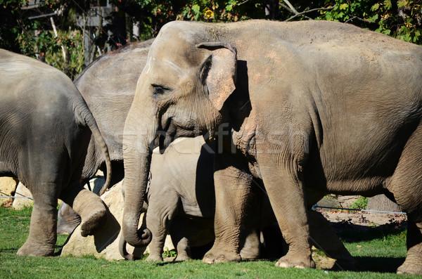 Elefántok család csoport Afrika kövér állat Stock fotó © Sarkao