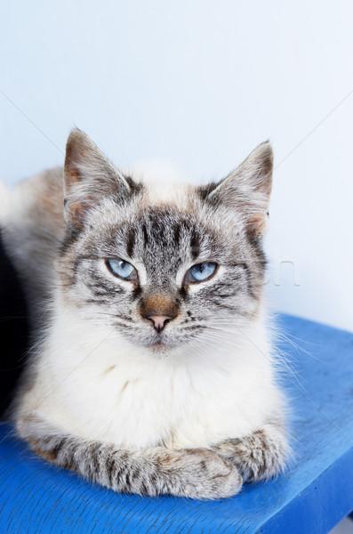 Kiscica macska kék portré állat szőr Stock fotó © Sarkao