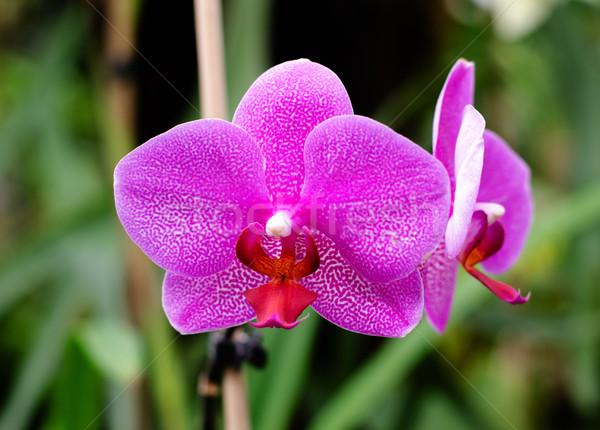 орхидеи цветы весны красоту подробность Сток-фото © Sarkao