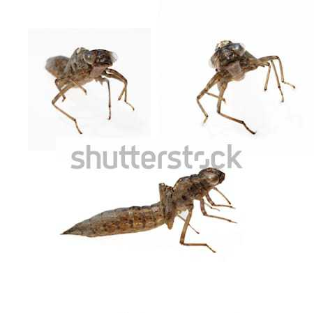 Yusufçuk hayvan böcek makro canavar Stok fotoğraf © Sarkao