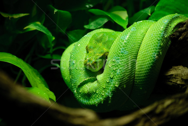 Arbre vert python vert laisse animaux échelle Photo stock © Sarkao