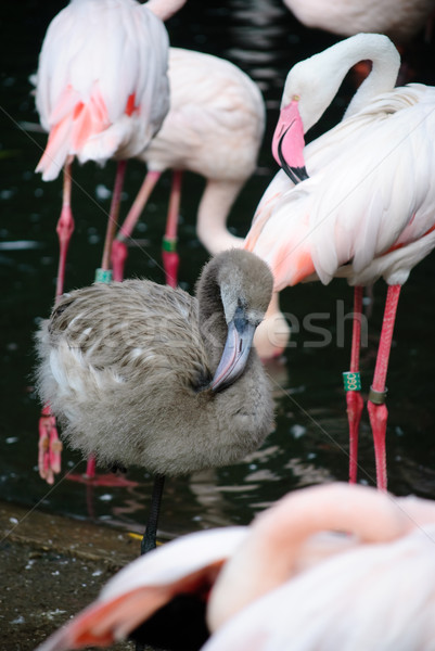 pink flamingos (Phoenicopterus ruber ruber) Stock photo © Sarkao