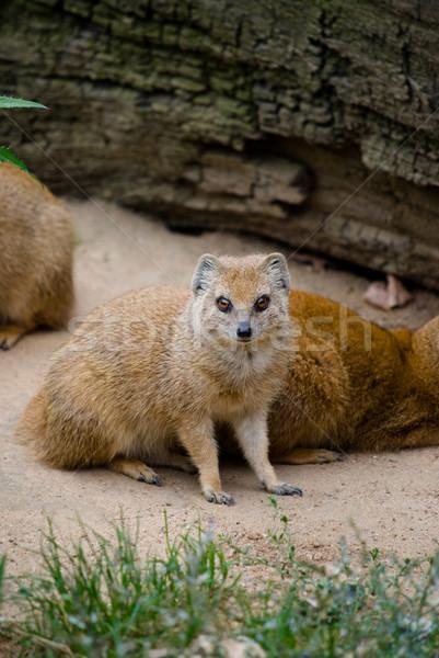 Yellow mongoose (Cinyctis penicillata) Stock photo © Sarkao