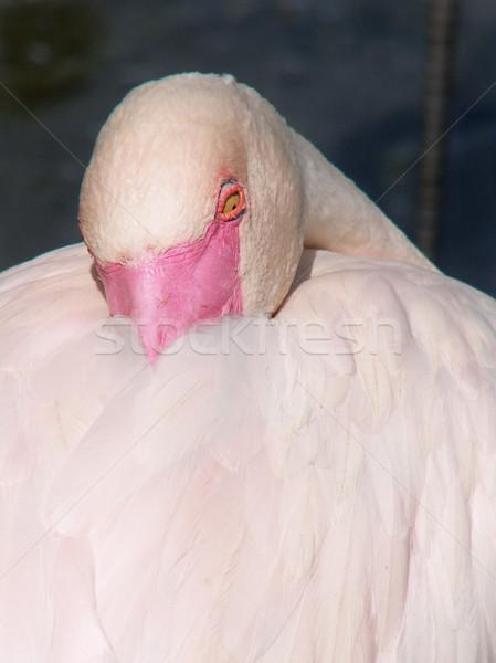 Flamingó narancs madarak rózsaszín Stock fotó © Sarkao