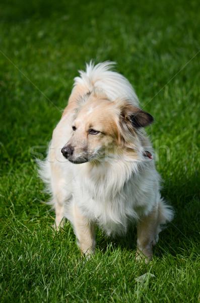 Kutya zöld díszállat szőr aranyos kívül Stock fotó © Sarkao