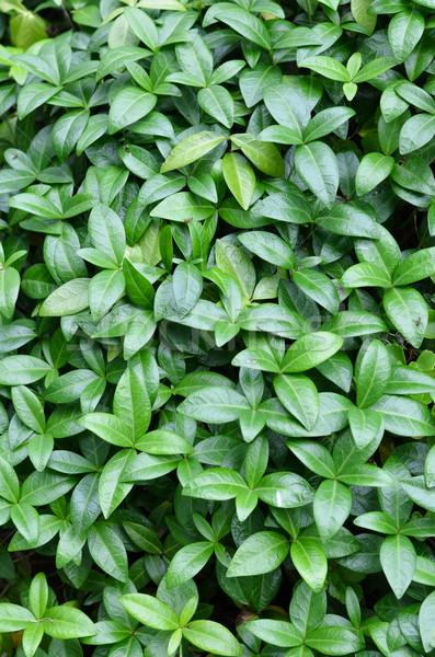 листьев природы лист фон зеленый структуры Сток-фото © Sarkao
