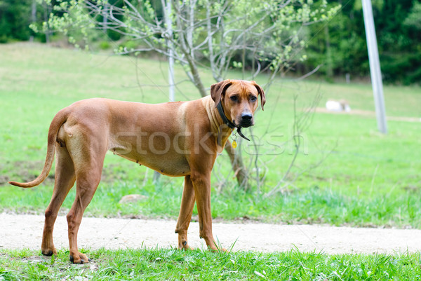 собака животного коричневый Сток-фото © Sarkao