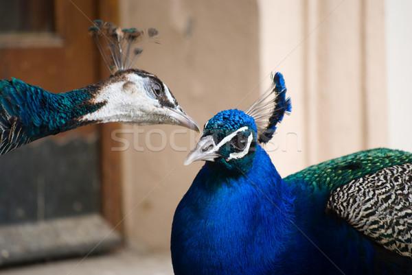 peacock Stock photo © Sarkao